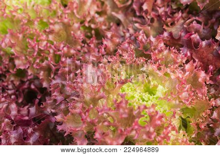Red leaf lettuce or red coral in garden close up. Fresh red leaf lettuce or red coral texture. Red leaf lettuce or red coral for health. Vegetarian food red leaf  lettuce or red coral.