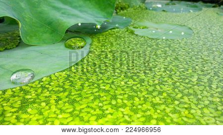 Cool colors green selective focus background. Lemina ninor, Lemna perpusilla Torr, common duckweed, duckweed, lesser duckweed in lotus pond.