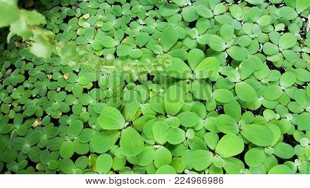 Cool colors green selective focus background. Water Lettuce or  Pistia stratiotes Linnaeus is local food for Thailand.