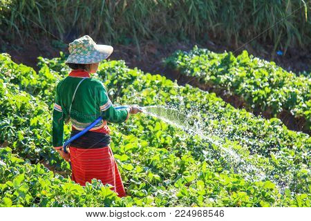 Worker watering strawberry in strawberry field at Doi Angkhang Chiang Mai, Thailand.