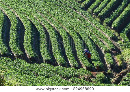 strawberries farmer harvesting organic fresh strawberry in Doi Angkhang plantation field, Chiangmai Province, Thailand.