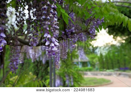 Wisteria blooms at Inniswood Gardens in Westerville, outside of Columbus, Ohio