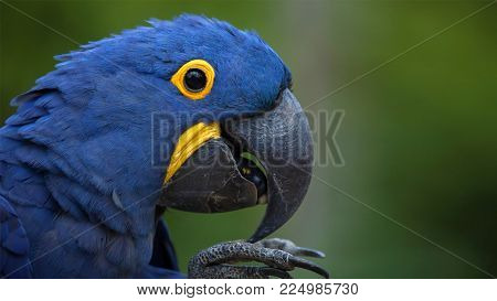 Blue Parrot is with yellow eyes in the forest