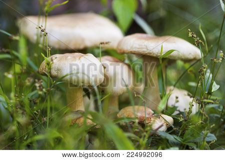 Ripe mushroom in green grass macro photo. Summer forest scene. White edible mushroom macrophoto. Green leaf and white mushrooms. Natural mushroom growing. Ecotourism activity. Pick up mushroom