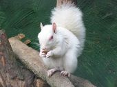 an albino squirrel eating a nut on a tree branch poster