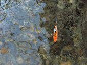 a lonely koi carp / goldfish. poster