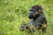 Gorilla eating or playing with a stroke of grass in his mouth. poster