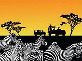 vector illustration of an Africa safari and zebra herd poster