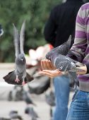 A few pigeons while eating from the hand palm of two people poster