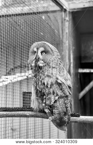 A Fierce Predator. A Bird Of Prey Or Raptor Perched In Zoo Cage. Prey Bird Of Typical Owl Family Wit