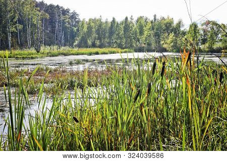 A Swamp Overgrown With Sedge And Cattail. The Surface Of The Water Is Overgrown With Duckweed. Impas