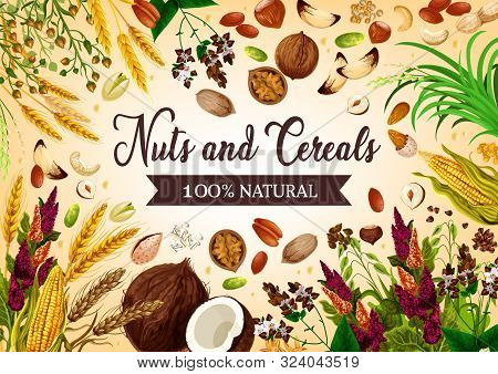 Nut, Bean And Cereal Natural Food. Vector Coconut, Hazelnut And Walnut, Corns And Ears Of Wheat. Bar