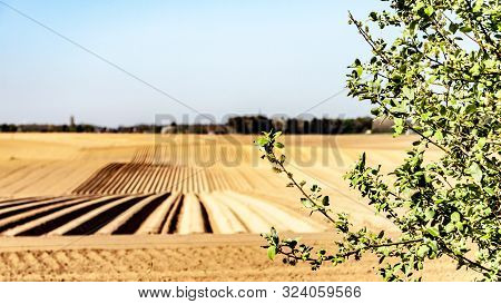 Branches of a small tree with farm cultivated land with potato in the background, wonderful sunny day on farmland with in-line furrows in Oensel south Limburg in the Netherlands Holland poster