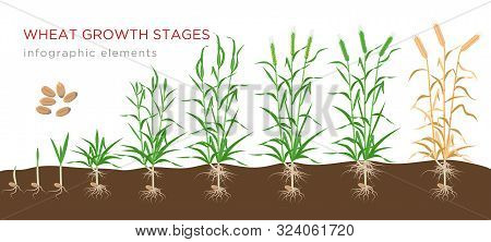 Wheat Growth Stages From Seed To Ripe Plant Infographic Elements Isolated On White Background. Wheat