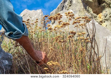 Wild Oregano Grows In The Mountains. Raw Oregano In Field With Blured Background. Greek Natural Herb