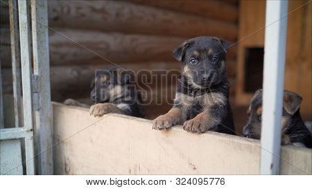 Frisky German Shepherd Puppies. German Shepherd Dog