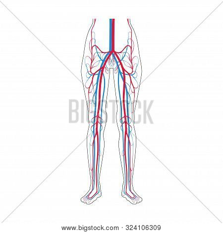 Vector Isolated Illustration Of Human Arterial And Venous Circulatory System In Leg Anatomy. Blood V