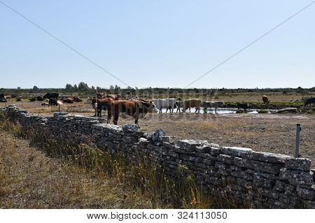 Cattle Gathering By A Wtaer Hole A Hot Summer Day In A Barren Pastureland At The Swedish Island Olan