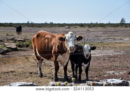 Curious Cattle By A Fence In A Barren Pastureland At The Swedish Island Oland