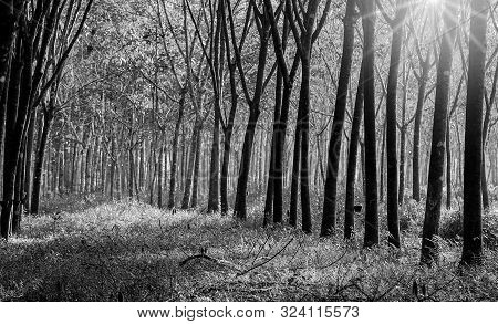Para Rubber Tree, Latex Rubber Plantation Tree Rubber In Southern Thailand, Black And White And Mono