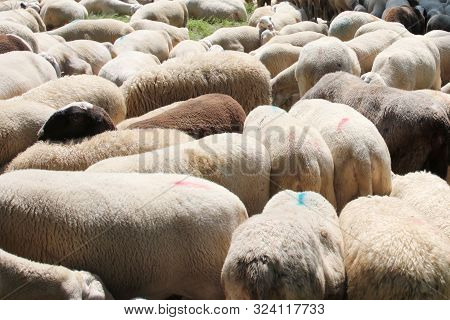 Background Of The Woolly Fur Of Sheep With Lots Of Sheep Grazing