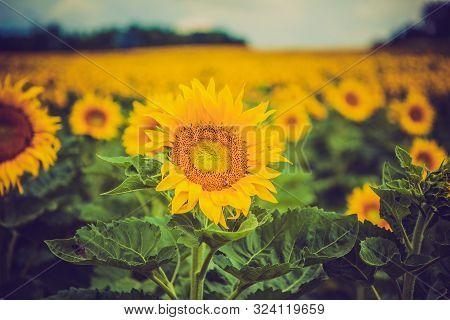 Beauty Yellow Sun Flowers On Outdoor Plant