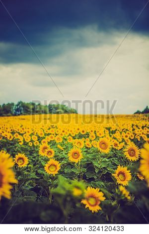 Yellow Sun Flowers On Outdoor Plant And Dramatic Sky