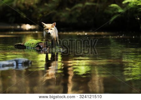 Young Vixen Of Red Fox Stay In River On Stone - Vulpes Vulpes
