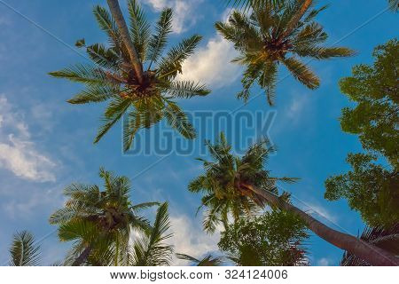 Tropical Palm Trees From Below Under Blue Sky
