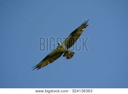 Elegant North American Osprey Flying Through A Bright Blue Sky, Clutching A Small Fish In Its Talons