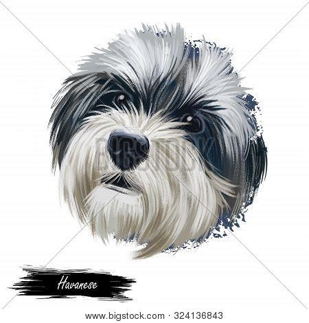 Havanese, Havanese Cuban Bichon, Havaneser Dog Digital Art Illustration Isolated On White Background