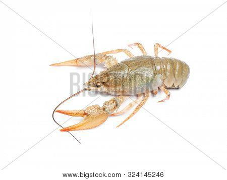 Crawfish isolated on white background. Alive crawfish isolated poster