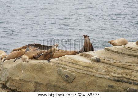 Seals, Sea Lions Resting On The Shores Of La Jolla Sea Shore, San Diego.