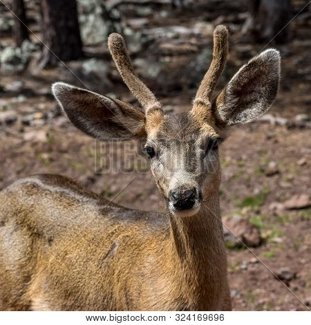 Close Portrait Of A Mule Deer Face