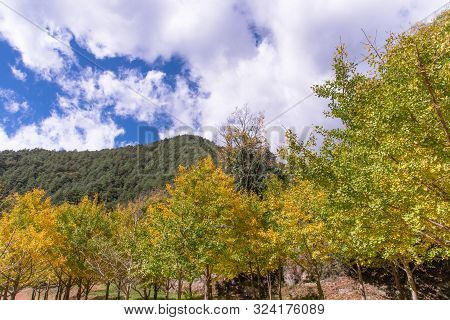 Beautiful Yellow Ginkgo, Gingko Biloba Tree Forest In Autumn Season In Sunny Day With Sunlight And B