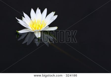 White Waler Lily