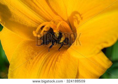 Bumblebee And Orange Daylily Flower. Bumblebee Collects Nectar On A Daylily Flower. Bumblebee Playin