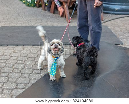 Funny Lhasa Apso Dog Wearing A Tie. Motion Blurred Tail. Two Dogs On Leash Standing On Street