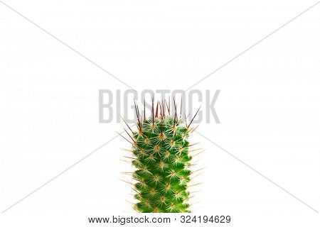 Prickly prick. Cactus head section with needles pointing up, isolated on white. Mammillaria species cactus.