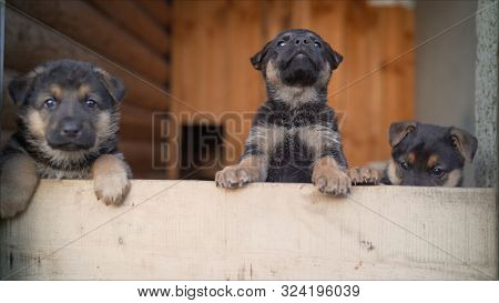 Cheerful Puppies. German Shepherd Puppies. Funny, Funny, Funny, Black Puppies.