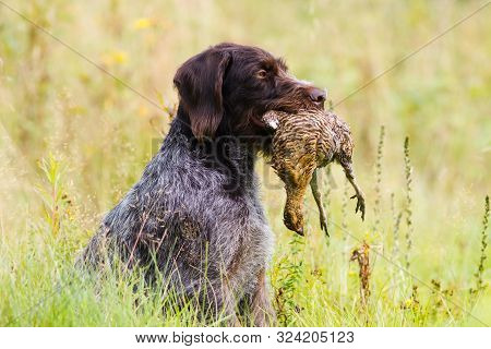 German Wirehaired Pointer Keeps A Downed Wildfowl (hen Grouse) In Its Teeth During Hunting