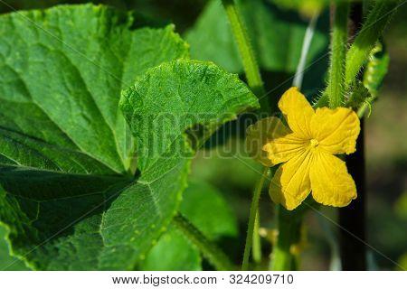 Plant Cucumis Sativus. Blossom Of Cucumber Cucumis Sativus. Cucumber Flowers Close-up.