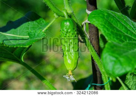 Cucumber (cucumis Sativus) In Vegetable Garden. Cucumis Sativus An Annual Herbaceous Plant Of The Cu