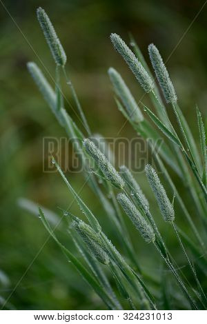 Closeup Of Timothy Grass (binomial Name: Phleum Pratense), Is A Typical Species Of The Genus Timothy