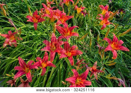 Daylilies Flowers Or Hemerocallis. Daylilies On Green Leaves Background In Summer. Flower Beds With