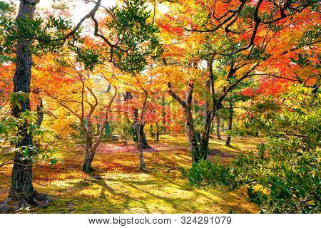 Colorful japanese maple (Acer palmatum) trees during momiji season at Kinkakuji garden, Kyoto, Japan