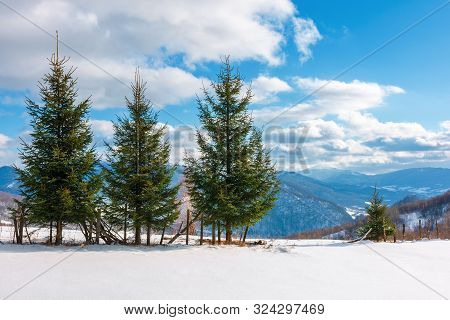 Three Fir Trees On The Snowy Meadow In Wintertime.  Beautiful Alpine Scenery On A Sunny Day In Mount