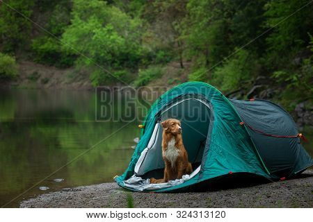 Dog In A Tent At The Rain. Nova Scotia Duck Tolling Retriever In The Camp. Pet Travel, Toller