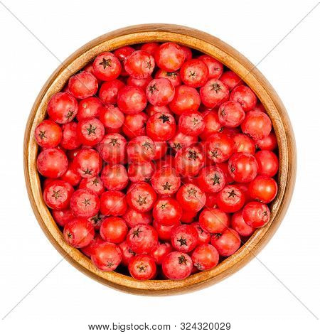 European Rowan Fruits In Wooden Bowl. Fresh Ripe Red Seeds. Sorbus Aucuparia, Also Mountain-ash. Fru
