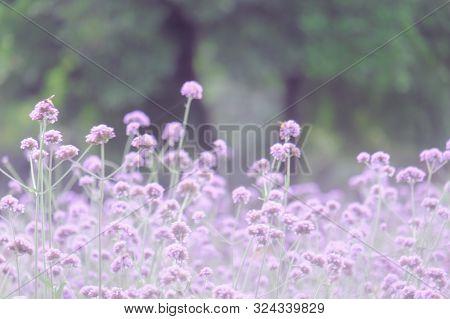 Verbena Bonariensis (argentinian Vervain Or Purpletop Vervain, Clustertop Vervain, Tall Verbena, Pre